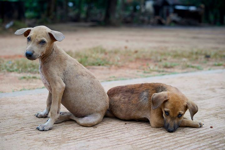 Street Dogs at the Buddhist Monastery in Bago, Myanmar