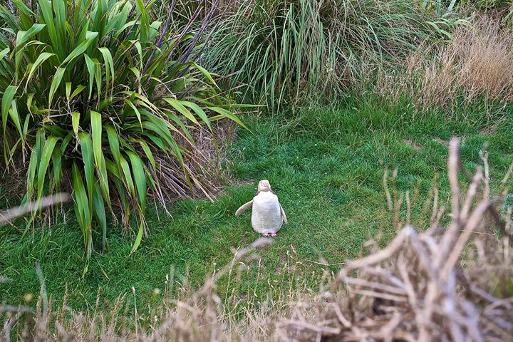 Yellow-eyed penguin on Papanui Beach