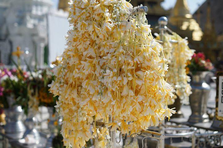 Frangipane flowers of Myanmar