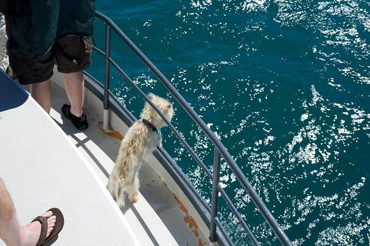 Dog chasing dolphins, Akaroa