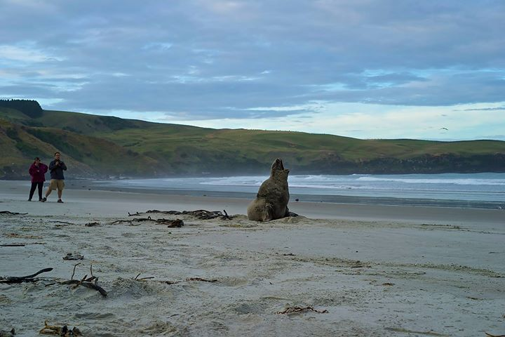 Adult male sea lion at Papanui Beach
