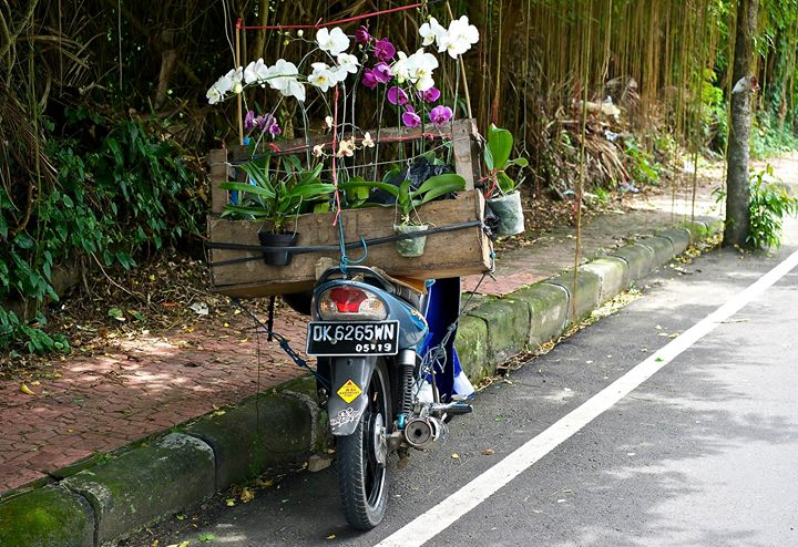 Orchids sold along JI Raya Sangingan road, Ubud, Bali
