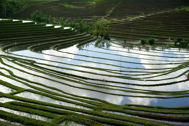 Rice terraces in the rice basin of Bali, Indonesia