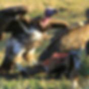 vulture-feeding-01.JPG