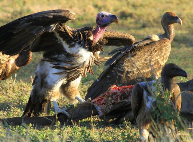 Vultures Feasting