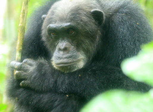 Sustainable Travel: Protecting the Chimpanzees in the Mahale Mountains of Tanzania