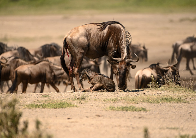 New Born Wildebeest