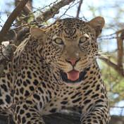 leopard-05.JPG