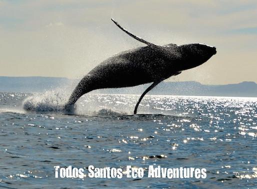Wooing a Whale: Humpback Crooners in Baja