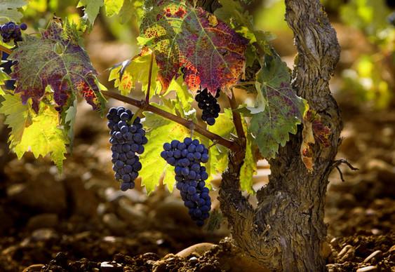 camino-grapes.jpg