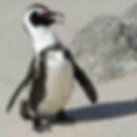 a-penguin1.jpg