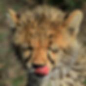 cheetah-cub-01.JPG