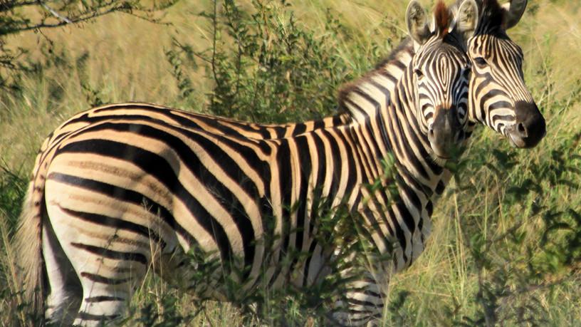 Southern African Zebra
