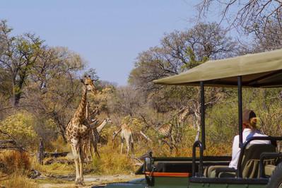 Giraffe, Safari Vehicle