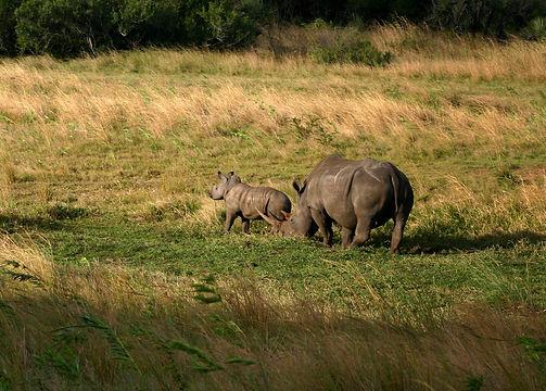 GenesJourney-Rhino-Rhino-Baby-Safari-01.