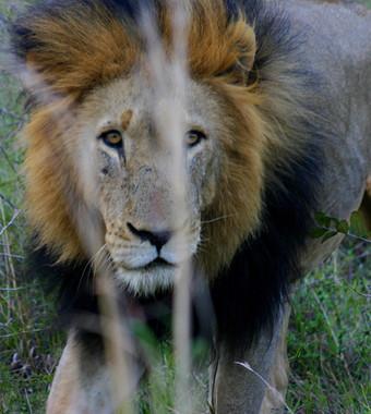 GenesJourney-Kalahari-Male-Lion-02.jpg