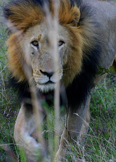 GenesJourney-Kalahari-Male-Lion.jpg