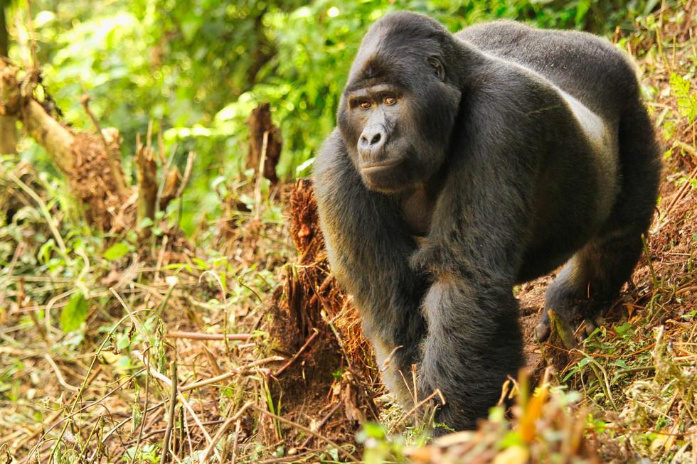 Silverback Bwindi High res photo Lyndsay