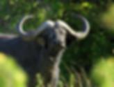 African Wildlife Safari Adventure Trips   Kuro Tarangire Camp   Walking Connection