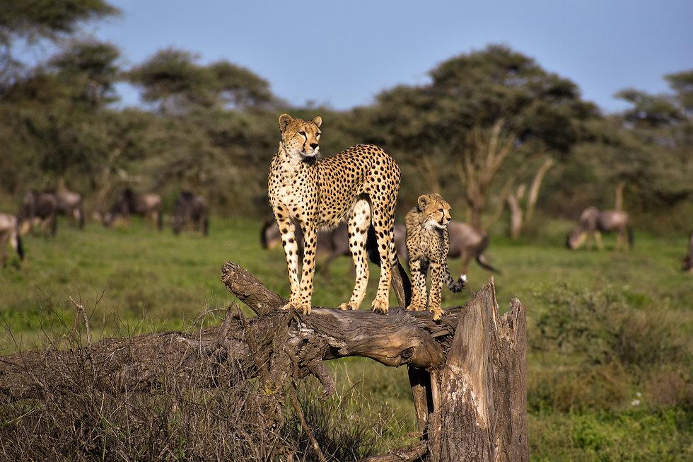 ndutyu cheetah 2.jpg