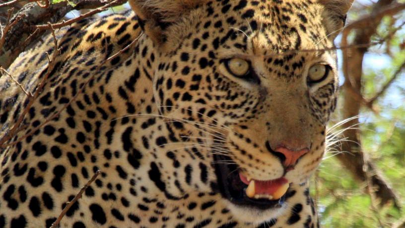 Leopard! He's a beast!