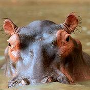 hippo-eyes-02.JPG
