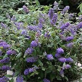 4 Butterfly Bush