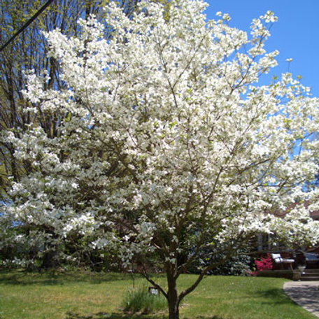 4 Flowering Dogwood