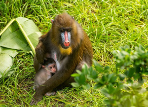 A Baby Mandrill is Born at Disney's Animal Kingdom