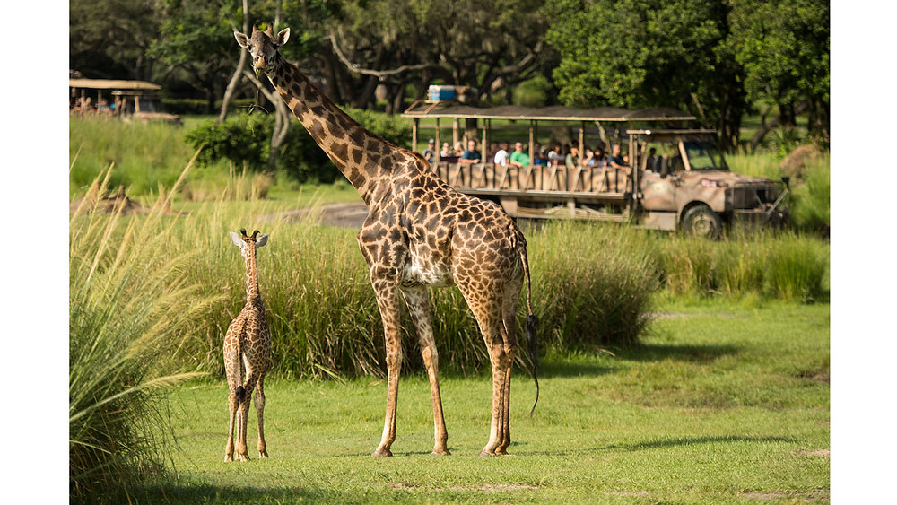 A Baby Giraffe Debuts on the Kilimanjaro Safari Savanna