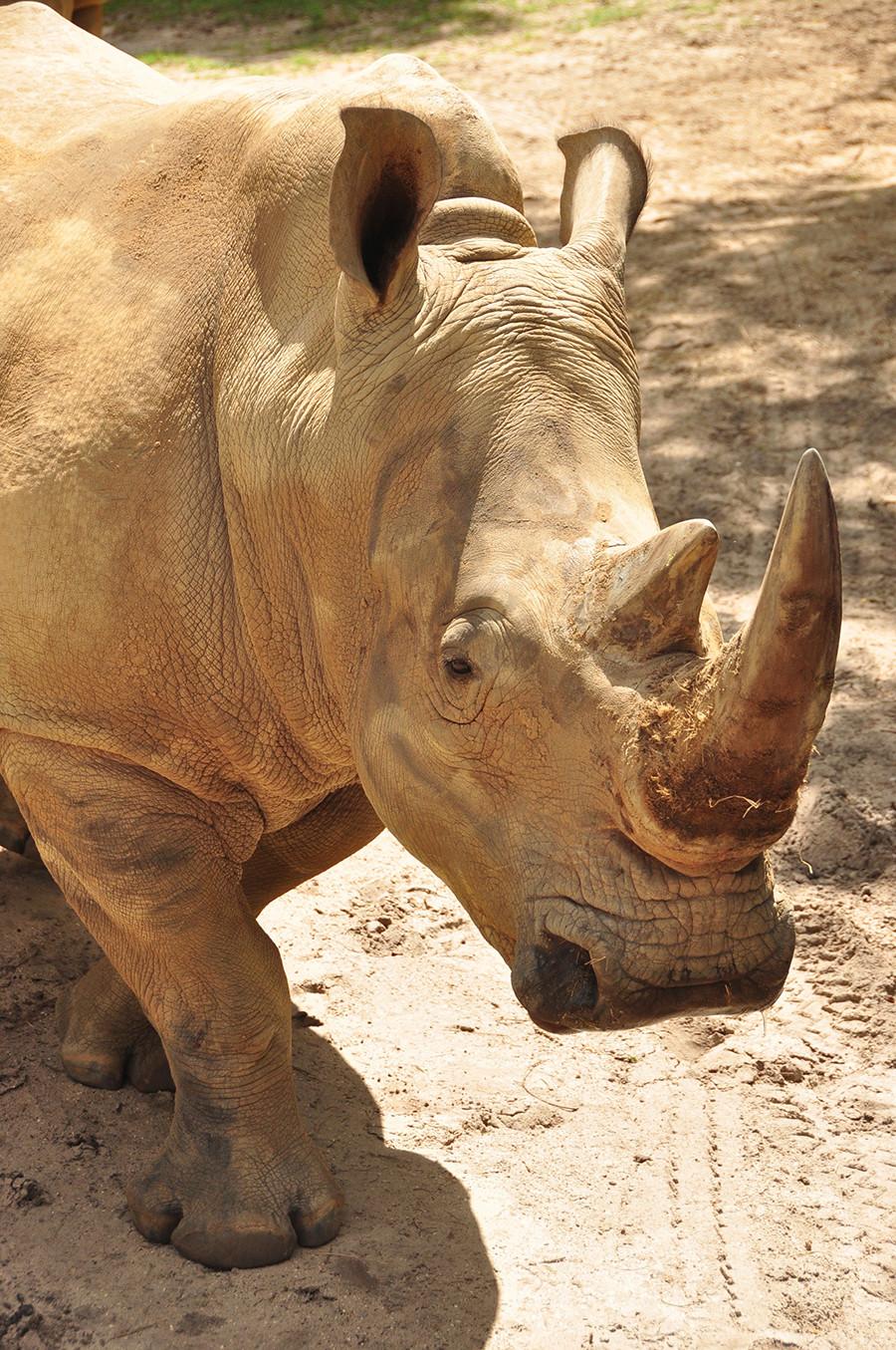 New Animal Experience to Get 'Up Close with Rhinos' Starting Nov. 1 at Disney's Animal Kingdom