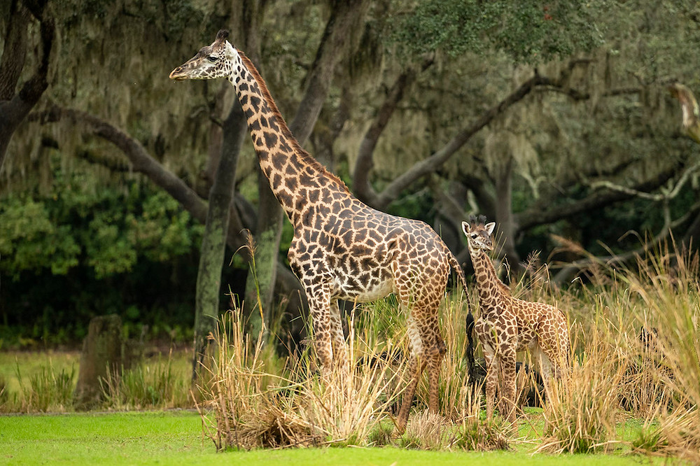 Amira, the Newest Giraffe Calf, Joins the Herd at Disney's Animal Kingdom