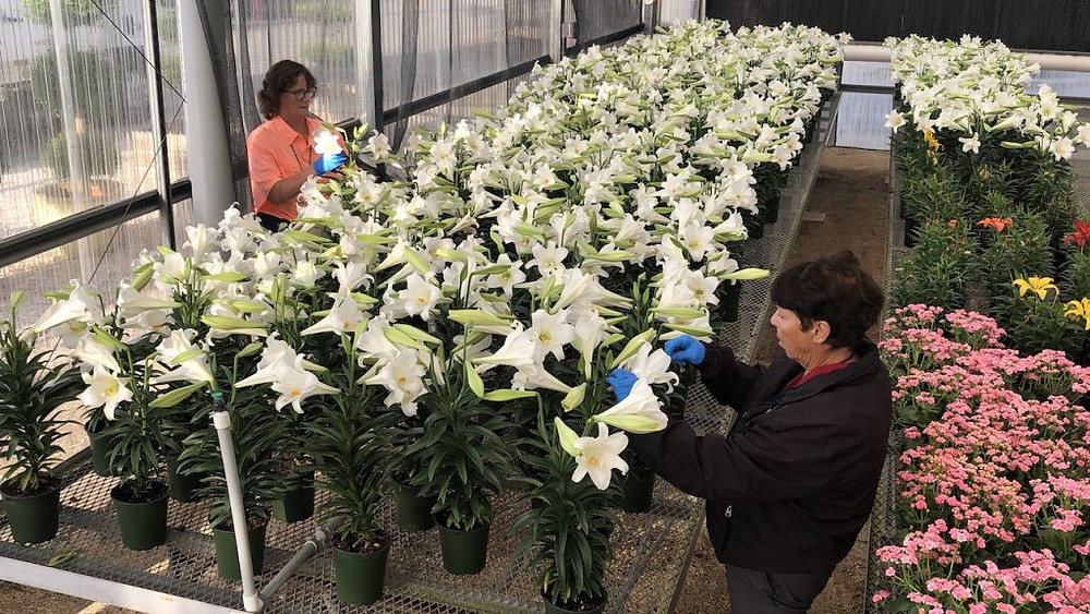 Walt Disney World's Horticultural Team Surprise Seniors with Easter Lilies