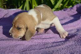 Swiss hound puppies
