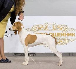 Swiss hound