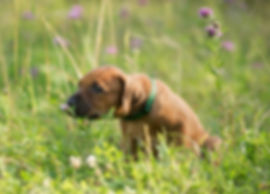 щенок родезийского риджбека