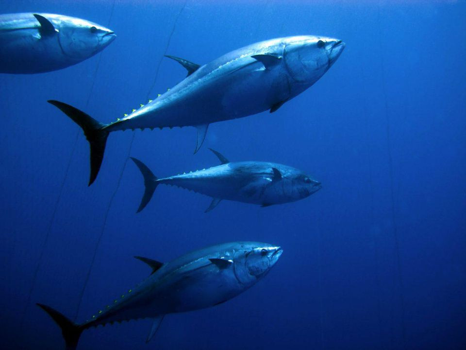 While La Mattanza, the traditional Sicilian ritual of fishing for giant bluefin tuna, was outlawed years ago, Sicilians' appetite for the fish endures. DISCOVER YOUR ITALY