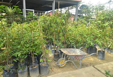 Where To Buy Durian Saplings? - so you'll get it right