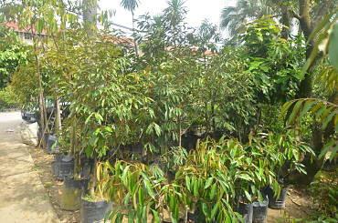 Durian saplings sizes