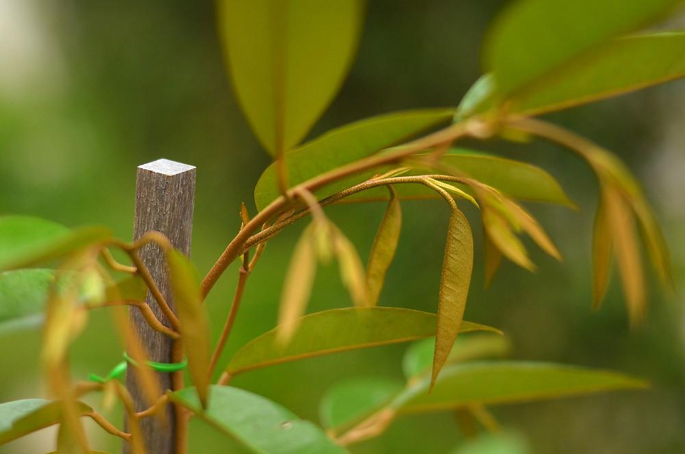 duarian sapling shoots, young durian tree
