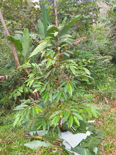 Monthong durian sapling