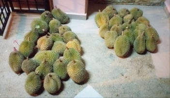Durian fruit harvested