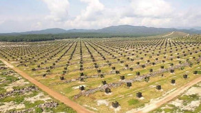 How Many Durian Trees On An Acre? - planting distance