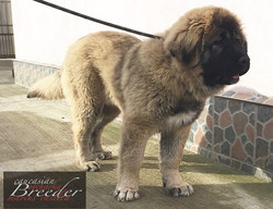 our baby female Ayanna 5,5 months old_100% From The Swiss Alps Kennel _- mother Bibi From the Swiss