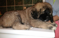 Ayanna puppy female 8 weeks old , 11,5 kg_100% From The Swiss Alps Kennel _- mother Bibi From the Sw