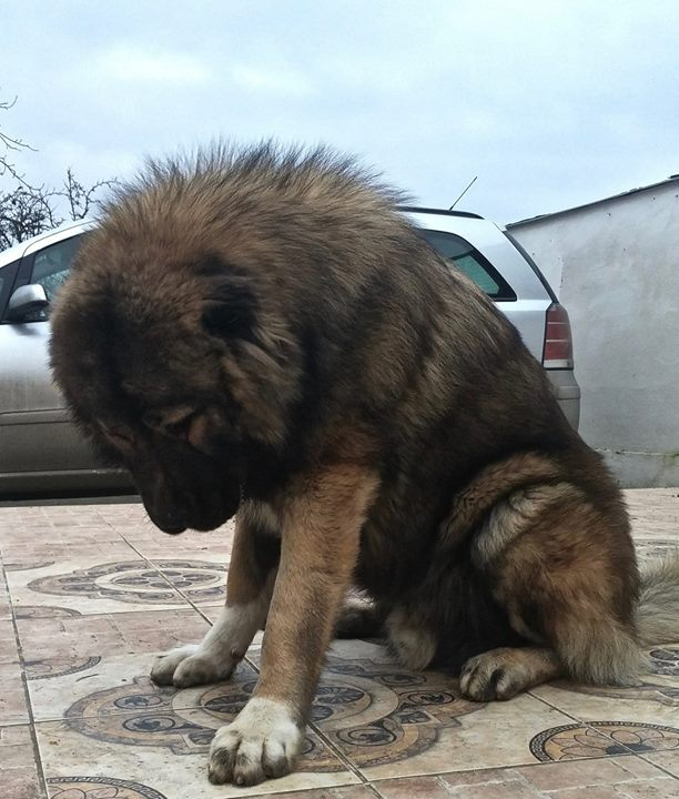 our junior male Lion Balkan Master 13 months old , Dragon Venom Un Passo Avanti son !