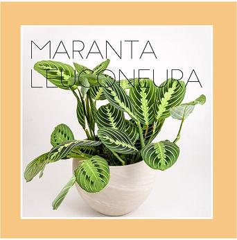 maranta leuconeura-01.jpg