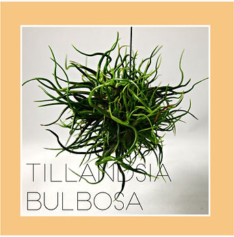 tillandsia bulbosa-01.jpg