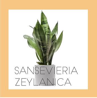 Sansevieria 'Zeylanica'-01.jpg