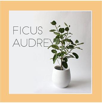 ficus audrey2-01.jpg